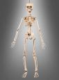 Bewegliches Skelett Deko 50 cm